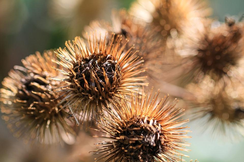 Ilustracija: čičak, foto: pixabay
