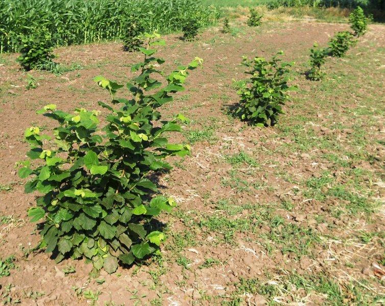 Ilustracija: Sadnice lešnika, foto: poljoinfo