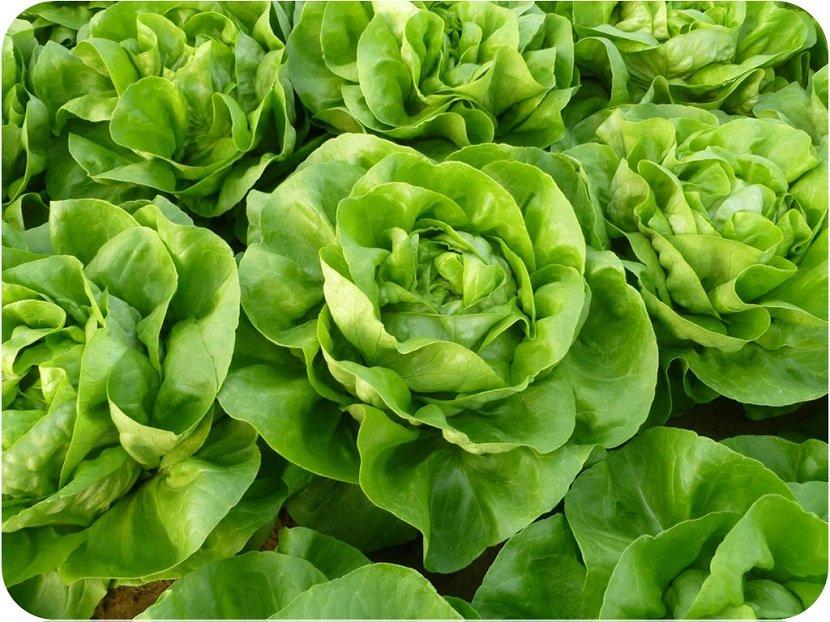 Ilustracija Zelena salata, fotohttpwww.hoya-vs.com