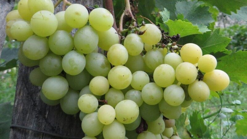 Dobar grozd, dobro vino
