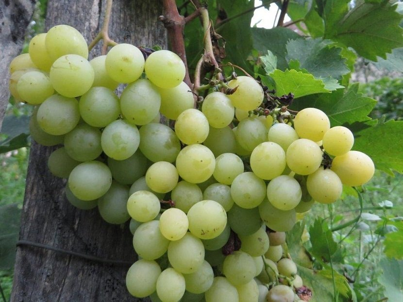 Ilustracija: belo stono groždje