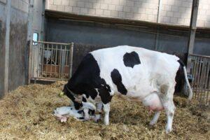 Ilustracija: farma - krave, foto: Svetlana Kovačević