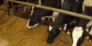 Ilustracija: ishrana krava, foto: http://event42.com/