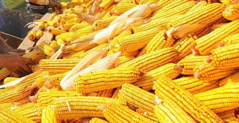 Ilustracija: kukurzi. foto:http://dpsklas.rs/