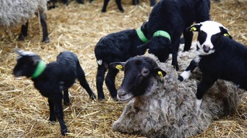 manovske ovce, foto: https://www.youtube.com/
