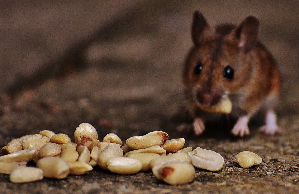 Ilustracija: poljski miš, foto, poljointotel